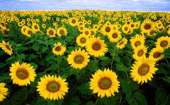 1024px-sunflowers