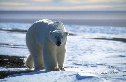 polar-bear-approaching-by-magnus-elander-1400x919